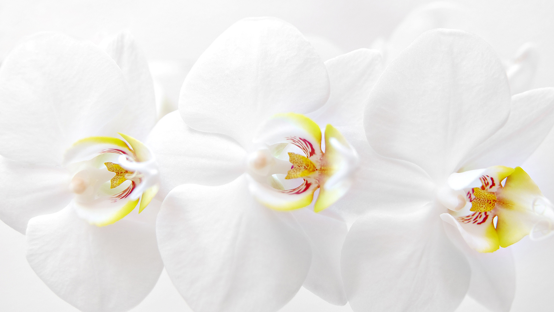 white_orchid_by_dealived